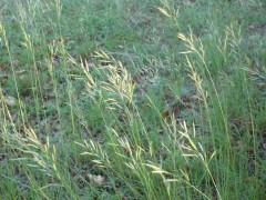herbe des champs.JPG